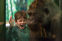 A new temporary exhibition at National Museum of Scotland in Edinburgh  features 60 new taxidermy specimens of monkeys, apes, lemurs, lorises and bush-babies. The taxidermy was specially commissioned by the exhibition which is the first to show primates behaving as if they were in the wild.<br /> <br /> The exhibition opens in 9 December and runs until Sunday 23 April 2017.<br /> <br /> Pictured: Lucas Hashem-Ford (aged 7)