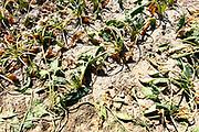 Nederland, Groesbeek, 16-7-2018 Akkerbouw heeft in toenemende mate last van de langdurige, aanhoudende droogte. Een veld suikerbieten heeft het loof slap hangen en vergeeld. Het zal spoedig verdrogen . Foto: Flip Franssen