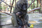 Baby Orphaned Baboon Is So Relieved To Meet Her Adoptive Mum