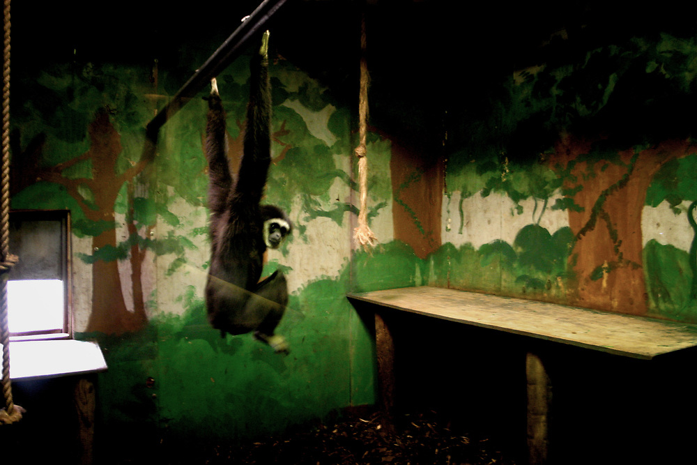 """Lar Gibbon. England, 2007. © Craig Redmond<br /> This series explores the unnatural captivity of wild animals in zoos - 'False Environments' where the paintings of trees, rocks and other landscapes may fool the viewing public but do nothing to benefit the lives of animals who will never experience freedom. <br /> """"'But what if Jacob never gets to Africa to see a real giraffe?' my mother asks ... Even if my son did go to the zoo, he would still not see what I consider to be a real giraffe, but rather a cultural stylisation, simplification, distillation, of a giraffe; a sample of giraffe; a (situated) representation of a giraffe.""""<br /> Randy Malamud, Professor of English at Georgia State University, USA, and author of Reading Zoos: Representations of Animals and Captivity"""