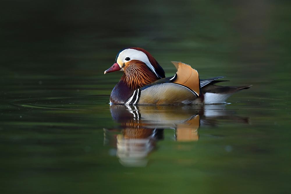 Mandarin Duck, Aix galericulata, swimming on water in the Beijing area, China