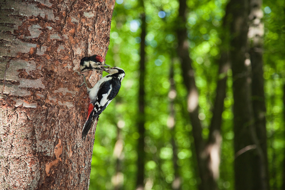 Großer Buntspecht, Picoides major, an Bruthöhle mit Jungem, Slowakei / Great Spotted Woodpecker, Picoides major, at nest with chick, Deciduous Forest in the Vihorlat Mountains near Michalovce, Western Carpathians, Eastern Slovakia, Europe