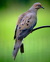 Mourning Dove. Image taken with a Fuji X-T3 camera and 200 mm f/2 OIS lens with 1.4x teleconverter.