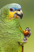Orange-winged parrot (Amazona amazonica)<br /> Amazon Rain Forest. ECUADOR. South America<br /> RANGE: e Colombia to Venezuela, the Guianas, n Bolivia and e Brazil, Trinidad and Tobago.