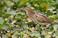 Least Bittern - Ixobrychus exilis - female