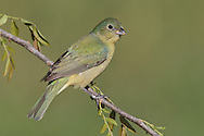 Painted Bunting - Passerina ciris - immature male