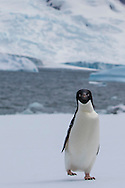 An Adelie Penguin on Half Moon Island, home to a large chinstrap penguin colonly, Antarctica