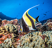 The Moorish idol is a marine fish species, the sole extant representative of the family Zanclidae in order Perciformes.