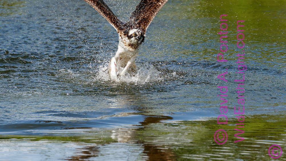 Osprey flies up from pond immediately after capturing a fish, with the wave from its impact still visible  © 2015 David A. Ponton