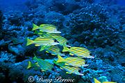 bluelined snapper,  Lutjanus kasmira, Layang Layang Atoll, Malaysia ( South China Sea )