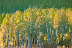 """""""Aspen Reflection on Water 1"""" - This is a photograph of an aspen reflection on the surface of Marlette Lake."""