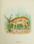 The Pampas deer (Ozotoceros bezoarticus) is a species of deer that live in the grasslands of South America at low elevations from the book ' The deer of all lands : a history of the family Cervidae, living and extinct ' by Richard Lydekker, Published in London by Ward 1898