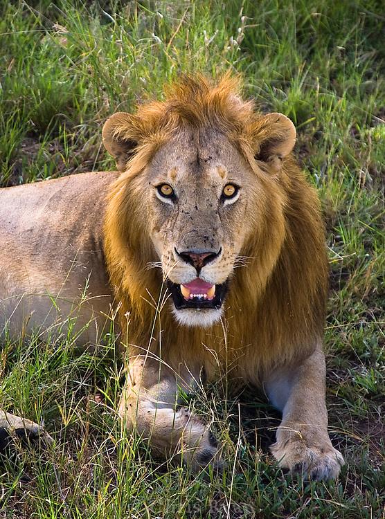 Male lion resting in shade, Serengeti National Park, Tanzania