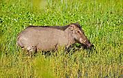 Wild boar feeding on vegetation in shallow lake, Yala National Park, Sri Lanka