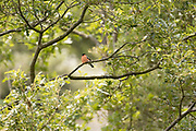 Bullfinch (Pyrrhula pyrrhula) perched in woodland clearing. Sussex, UK.