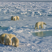 A group of polar bears waits for Hudson Bay to freeze. Canada