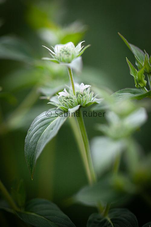 Pycnanthemum muticum - short-toothed mountain mint