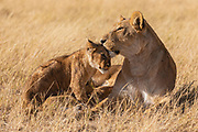 A  female lioness (Panthera leo) laying in the grass nursing her cubs, Okavango Delta, Moremi,  Botswana