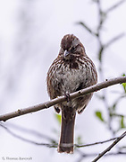 A Song Sparrow looks down just after giving its sweet spring song. He moved to a new branch and continued to sing for several minutes before flying into the bushes.