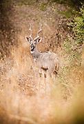 A kudu in Amboseli National Park, Kenya
