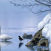 Whooper Swan (Cygnus cygnus) and a Jungle Crow (Corvus macrorhynchos) on Lake Kussharo in Japan.