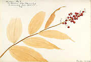 """Sketchbook 2 - Water-color sketches of plants of North America and Europe [graphic], Painted between June 1888 to September 1910 by Helen Sharp. Eighteen albums of water-color sketches by Helen Sharp of flowering plants and shrubs common to the United States, especially New England, as well as to Bermuda and parts of Europe, dated between June 1888 and Sept. 1910. Sketches in water-color and ink on paper (26 x 18 cm. or smaller) include botanical captions in Latin, along with Sharp""""s notes on the common name and physical characteristics of each plant, and location and date of drawing. There is also a table of contents at the front of each sketchbook. The first 16 albums contain sketches of plants common in New England, in towns of Massachusetts such as Nantucket, Taunton, Boston, No. Andover, Marblehead, Hingham, Gloucester; Maine (York, Sorrento); New Hampshire (Surrey), and Connecticut. Volume 17 contains sketches of plants made by the artist while traveling in Switzerland, Italy, England, and France, while v. 18 contains sketches of tropical fruits and flowers of Bermuda, completed during Sharp""""s visits of 1892, 1893, and 1903."""