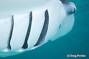 reef manta ray, Manta alfredi (formerly Manta birostris ), feeding, with open gill slits, showing gill plates through which plankton is filtered (and which also draw oxygen from the water for respiration), Hanifaru Bay, Baa Atoll, Maldives ( Indian Ocean )