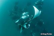 manta rays, Manta alfredi (formerly Manta birostris ), vortex-feeding on plankton, Hanifaru Bay, Baa Atoll, Maldives ( Indian Ocean )