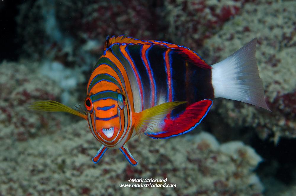 Harlequin Tuskfish, Choerodon fasciatus, Agincourt Reef, Great Barrier Reef, Australia, Coral Sea, Pacific Ocean