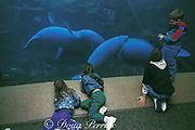 children view Florida manatees, Trichechus manatus <br /> latirostris, at Sea World of Florida, Orlando, Florida, USA, North America
