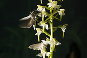The shark moths (Cucullia umbratica) nectaring on Greater Butterfly Orchid (Platanthera chlorantha) with pollinia. Sussex, UK.