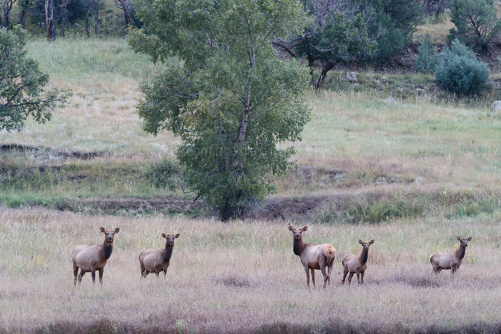 Cow elk gathered in harem during fall rut, Vermejo Park Ranch, New Mexico, USA.