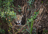 A jaguar, Panthera onca, emerges from a hole in the brush along the bank of the Cuiaba River, Brazil.