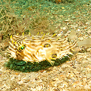 Striped Burrfish inhabit inshore areas of sand and seagrass in Florida and continental coasts to Maine and Brazil; picture taken Blue Heron Bridge, Palm Beach, FL.