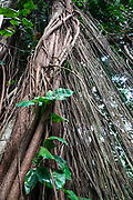 Aerial roots in tropical tree canopy on Manoa Falls Trail, Honolulu Watershed Forest Reserve, Oahu, Hawaii, USA. Walk 1.6 miles round trip with 800 feet gain to see Manoa Falls, a waterfall of Waihi stream in Manoa Valley. The 100-foot high Manoa Falls nestles in a lush tropical rainforest in Oahu's Koolau mountains.