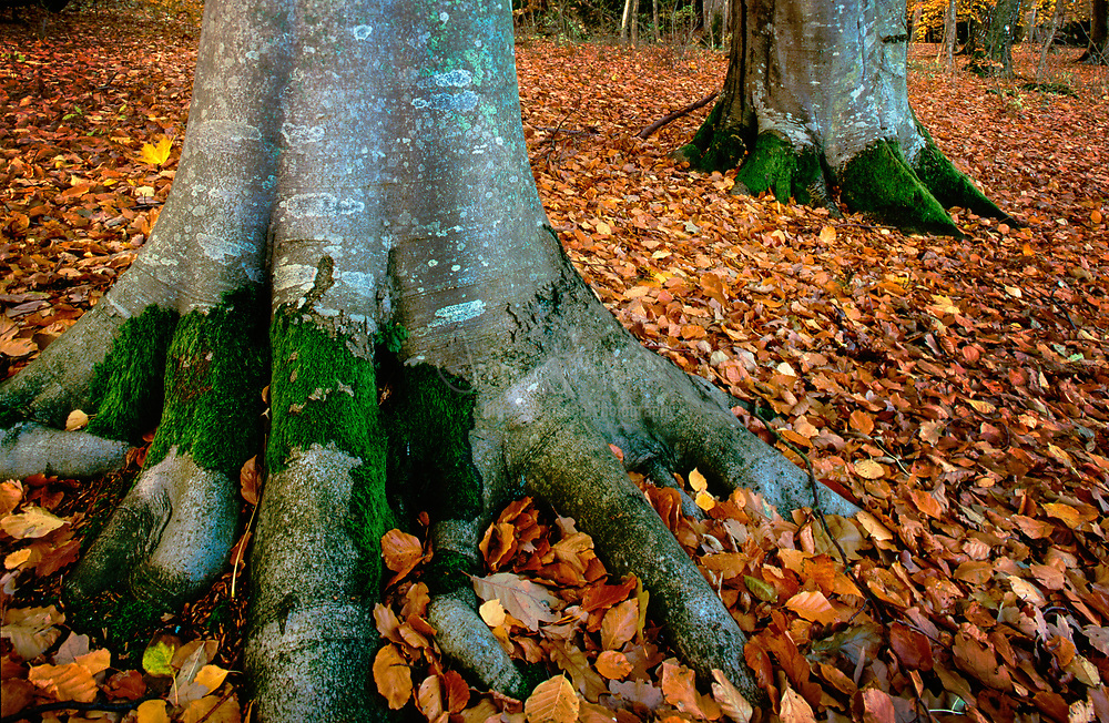 Beech trees in the south of Sweden
