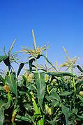 AMFY4A Close up of sweet corn maize plant