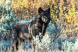 Black wolf on alert in the Greater Yellowstone. It's not often one pauses for a portrait but sometimes a photographer gets lucky