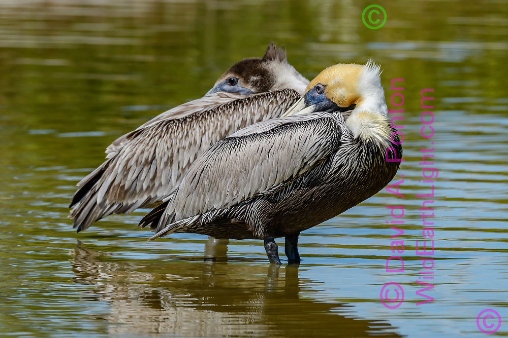 Brown pelican adult (front) resting with juvenile while standing in water pool in the same position, Florida, © David A. Ponton