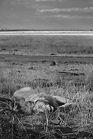 A sleeping male lion in the Masai Mara National Park, Kenya
