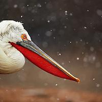 Dalmatian Pelicans 2014