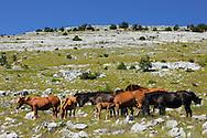 Semi-wild feral horses, Paklenica National Park, Velebit Nature Park, Dalmatian coast, Croatia