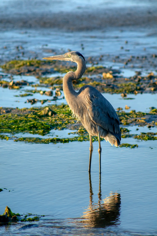 A blue heron stands in the saltwater marsh at Huntington Beach State Park in Murrells Inlet, SC on Friday, March 17, 2017. Copyright 2017 Jason Barnette