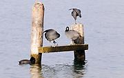 American Coots (Fulica americana) preening on Lake Atitlan. Panajachel, Republic of Guatemala. 04Mar14.