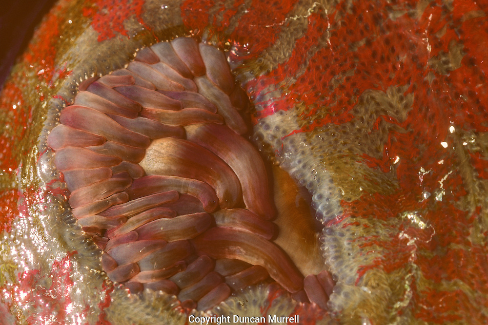 The brightly coloured mottled anemone was one of my favourite creatures in the intertidal zone of Southeast Alaska. The red streaks on its flanks are like flames of luminous wet red paint.