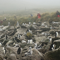 Geo-tourists photograph fledgling Black-Browed Albatrosses and Rockhopper Penguins  in a rookery called the Devil's Nose on West Point Island in Britain's Falkland Islands.