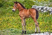 Connemara pony foal in buttercup meadow, Connemara, County Galway, Ireland