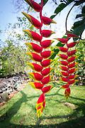 Hanging heliconia, Waipio Valley, Island of Hawaii