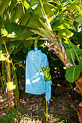 Bananas wrapped in protective plastic grow on a plantation in Puerto Rico.