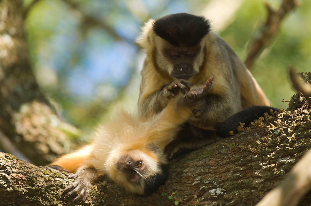 Brown Capuchin Monkey (Cebus apella) grooming young in Mato Grosso do Sul, Brazil.
